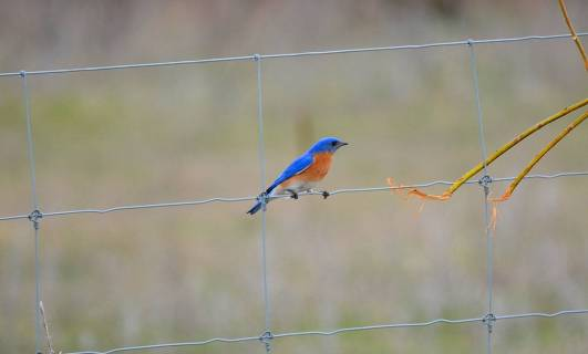 eastern bluebird, carden alvar, carden township, city of kawartha lakes, ontario, pic 10