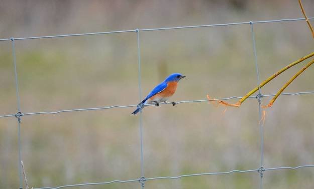 eastern bluebird, carden alvar, carden township, city of kawartha lakes, ontario