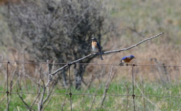 eastern bluebird, carden alvar, carden township, city of kawartha lakes, ontario, pic 3