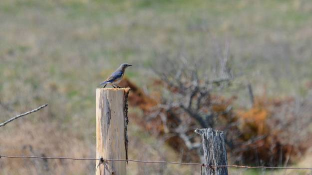 eastern bluebird, carden alvar, carden township, city of kawartha lakes, ontario, pic 4