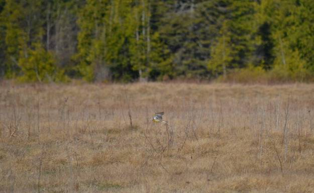 An image of an Eastern meadowlark in flight in the early spring at the Carden Alvar in Ontario