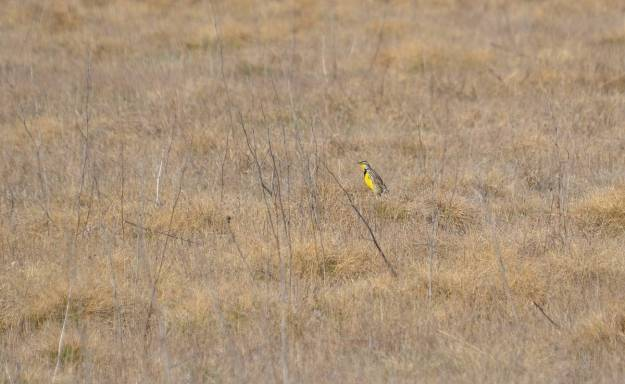 An image of an Eastern meadowlark sitting on the ground in the spring at the Carden Alvar, Ontario.