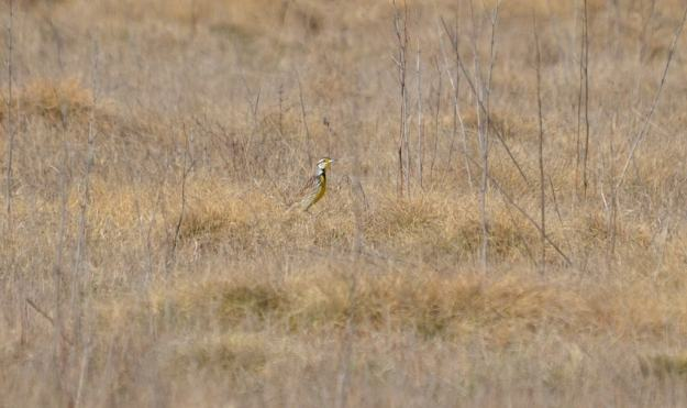 An image of an Eastern meadowlark in the spring at the Carden Alvar, Carden Township, Ontario.