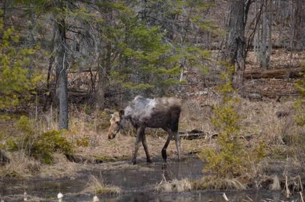 moose calf 1
