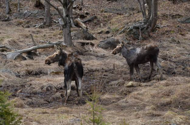 moose cow and calf 2