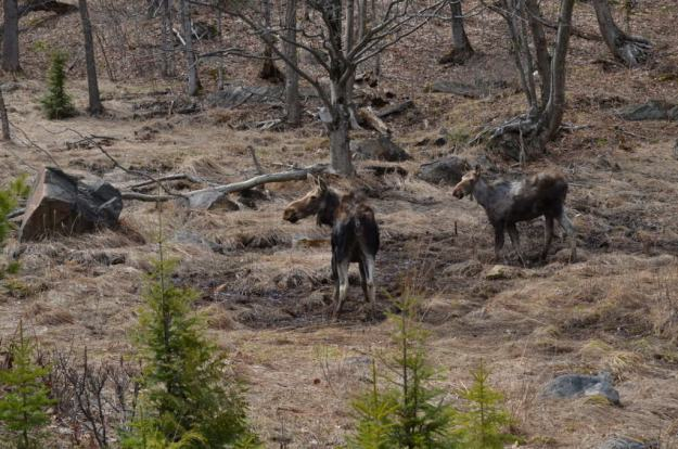 moose cow and calf 3