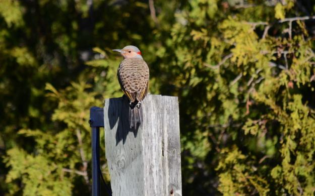 Image of a Northern flicker sitting on a post near Algonquin Park, Ontario