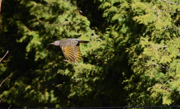 Image of a Northern flicker in flight near Algonquin Park, Ontario