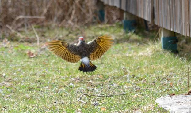 Image of the yellow wings of a Northern flicker in flight near Algonquin Park, Ontario