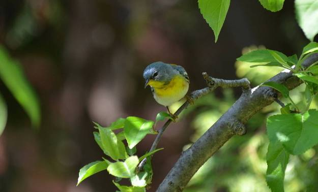 Northern parula sitting on a tree limb in Toronto, Ontario
