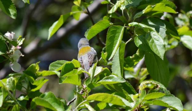 Photo of a Northern parula in Toronto, Ontario
