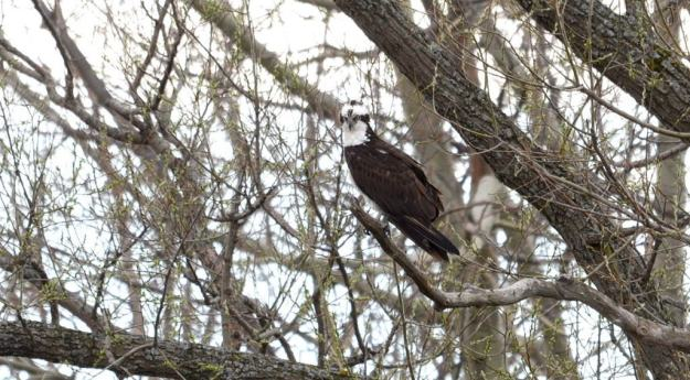 Osprey sitting in a tree Carden Alvar, City of Kawartha Lakes in Ontario