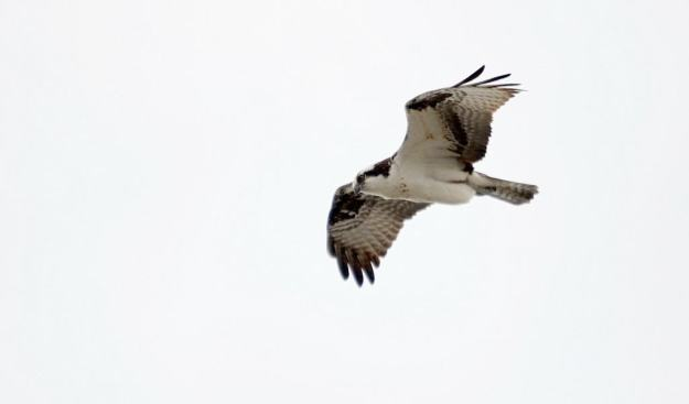 Osprey soaring in the sky high above Carden Alvar, City of Kawartha Lakes in Ontario