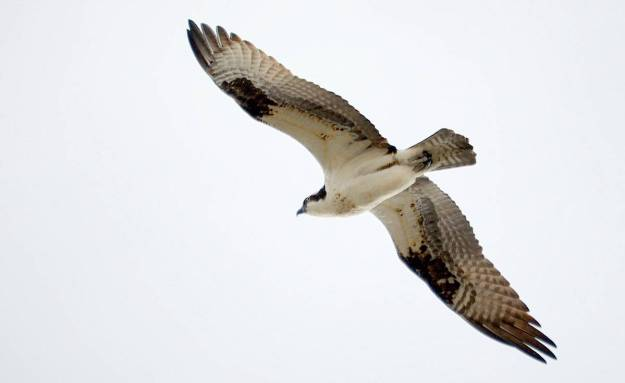 Osprey soaring in the sky high above Carden Alvar, City of Kawartha Lakes in Ontario