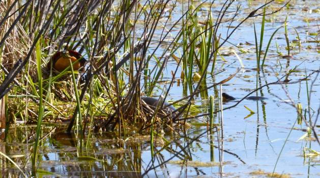painted turtles, carden alvar, city of kawartha lakes, ontario, pic 3