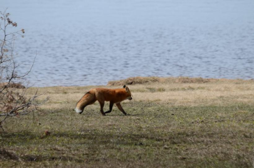 Image of a Red fox running along a shoreline in Algonquin Park, Ontario.