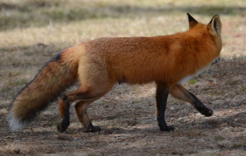 Image of a Red fox near Lake of Two Rivers, Algonquin Park, Ontario.
