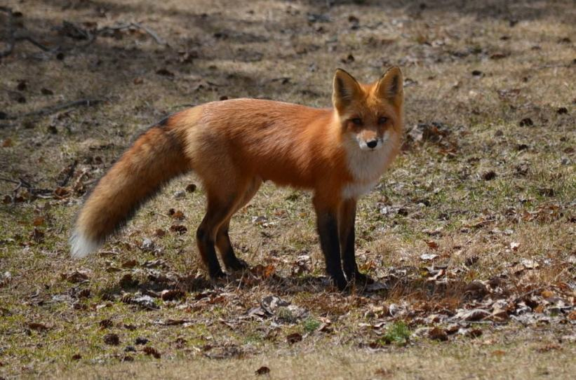 red fox near lake of two rivers, algonquin park, ontario