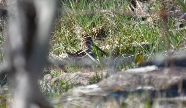 wilson's snipe, carden alvar, city of kawartha lakes, ontario, 14