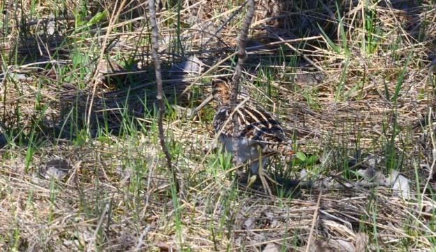 wilson's snipe, carden alvar, city of kawartha lakes, ontario, pic 3