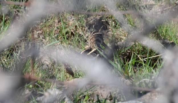 wilson's snipe, carden alvar, city of kawartha lakes, ontario, pic12