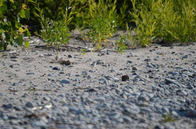 Piping Plover chick along shoreline at Darlington Provincial Park