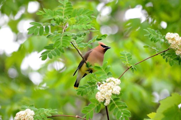Image of a cedar waxwing sitting in a tree at oxtongue lake, in ontario.