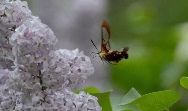 Image of a clearwing hummingbird moth at lilac bush at oxtongue lake, in ontario.