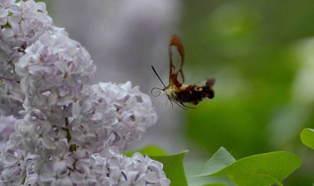 Image of a clearwing hummingbird moth at lilac bush at oxtongue lake, in ontario.