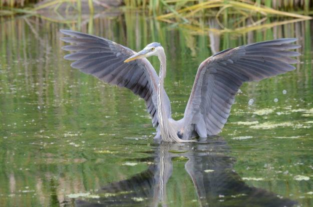 great blue heron, milliken park, toronto, ontario, pic 1