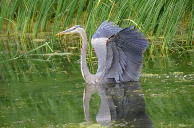great blue heron, milliken park, toronto, ontario, pic 10