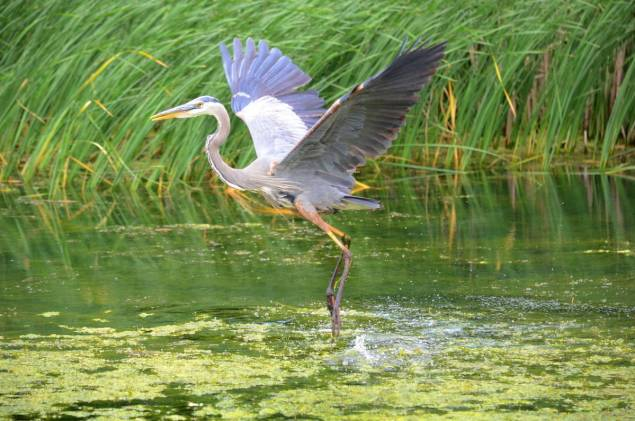 great blue heron, milliken park, toronto, ontario, pic 12