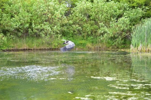 great blue heron, milliken park, toronto, ontario, pic 8