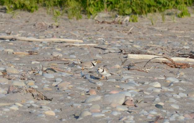 piping plover adults among sand and rocks at Darlington Provincial Park, Ontario