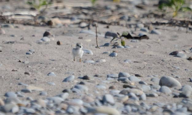Piping plover chick along the sandy shoreline at Darlington Provincial Park, Ontario