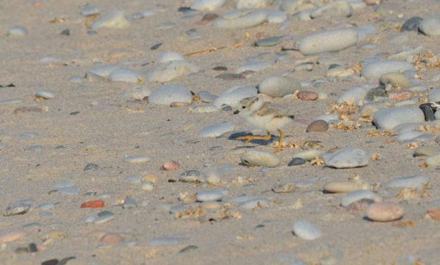 Piping plover chick walking across sand at Darlington Provincial Park, Ontario