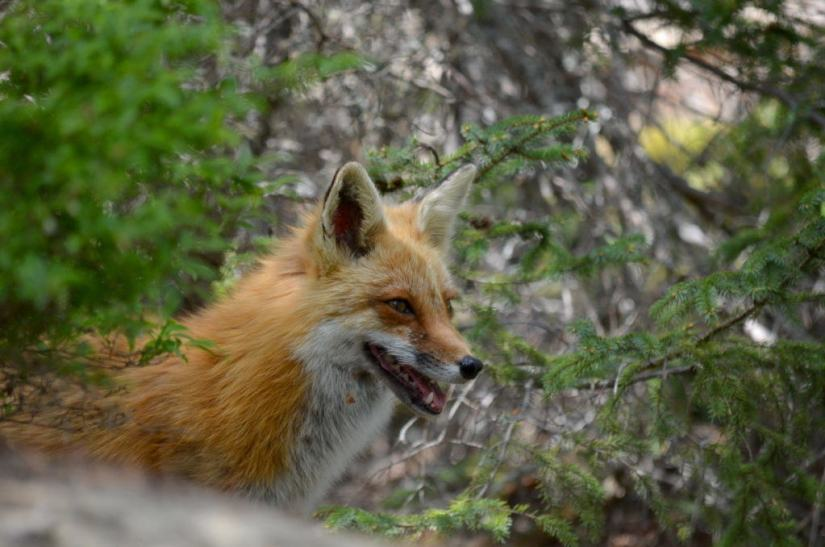 An image of a Red fox vixen watching her kits through trees in Algonquin Park, in Ontario, Canada.