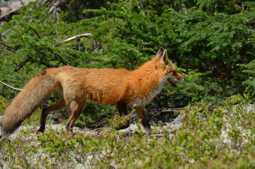 An image of a Red fox vixen in a forest in Algonquin Park in Ontario, Canada.