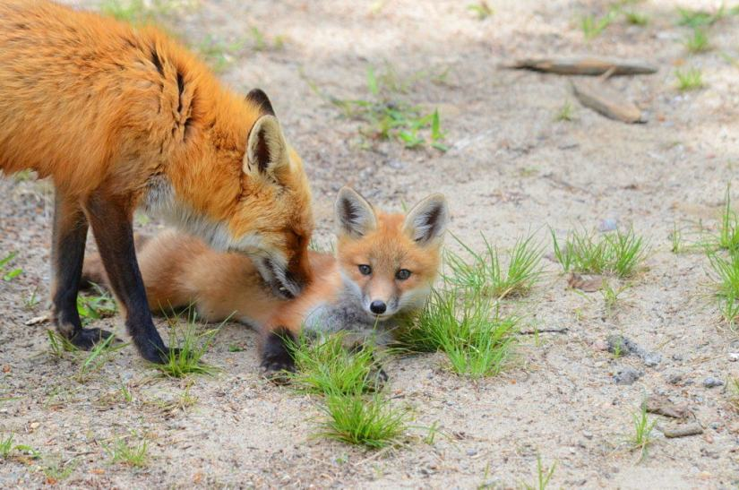 An image of a Red fox vixen grooms her kit in Algonquin Park, in Ontario, Canada.