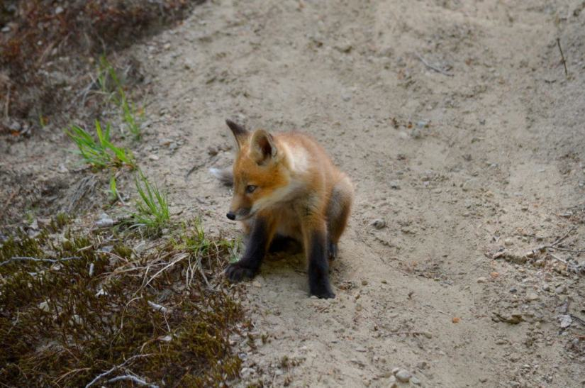 An image of a Red fox kit sitting on the side of a hill in Algonquin Park in Ontario, Canada.