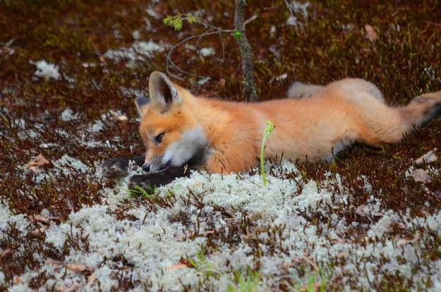 An image of a Red fox kit relaxing on the lichen in Algonquin Park, in Ontario.