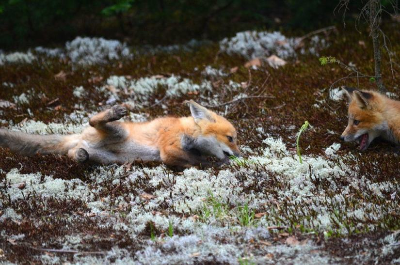 An image of two Red fox kits playing together on the ground in Algonquin Park in Ontario, Canada.