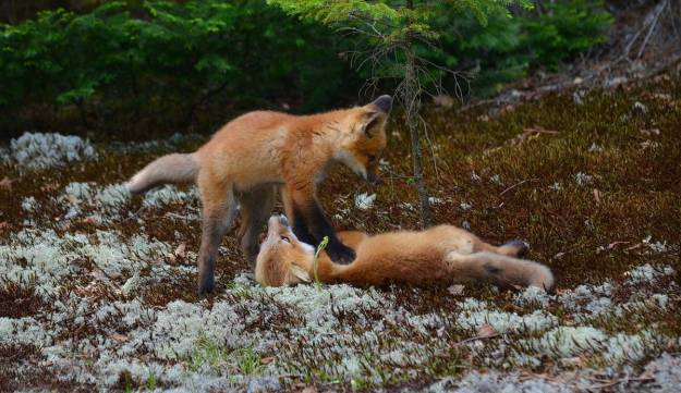 An image of two Red fox kits playing on the ground in Algonquin Park in Ontario, Canada.