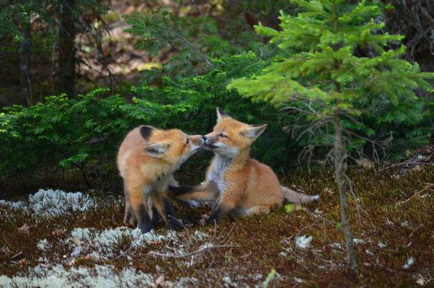 An image of two Red fox kits licking each others lips in Algonquin Park in Ontario, Canada.