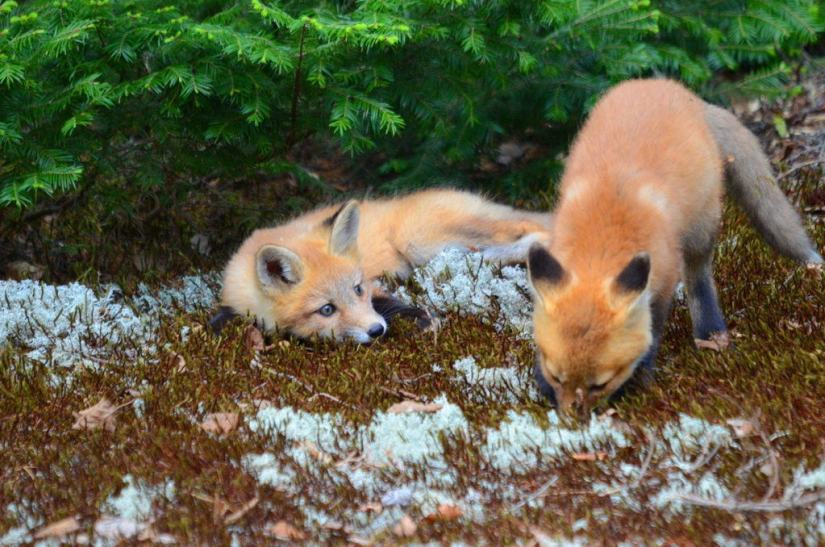 An image of Two Red fox kits playing together in Algonquin Park in Ontario, Canada.