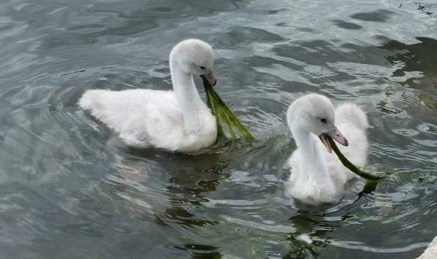 Image of two Trumpeter swan cygnets eating plants at Milliken Park in Toronto, Ontario.