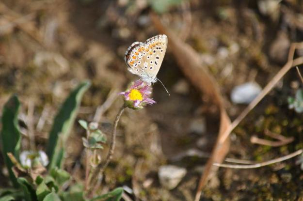 Image of an Adonis Blue Butterfly, female at Il Colombaio di Cencio, Gaiole, Chianti, Tuscany, Italy