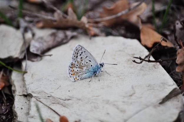 Image of a Chapman's Blue Butterfly at Il Colombaio di Cencio, Gaiole, Chianti, Tuscany, Italy