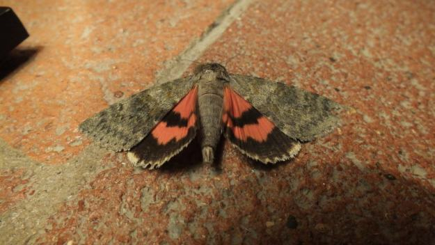 Image of a French Red Underwing Moth at Il Colombaio di Cencio, Gaiole, Chianti, Tuscany, Italy