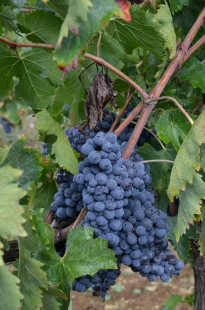 Grapes at Il Colombaio di Cencio, Gaiole, Chianti, Tuscany, Italy